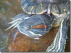oaxaca 2010 08 04 fresh water turtle