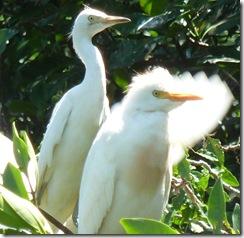 oaxaca 2010 08 05 ventanilla egrets
